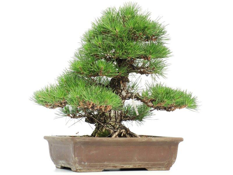 Pinus thunbergii, 44 cm, ± 35 years old