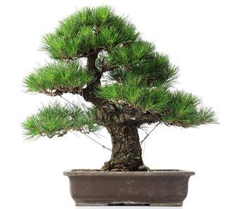 Pinus thunbergii, 45 cm, ± 35 anni