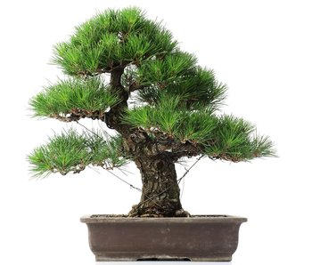 Pinus thunbergii, 45 cm, ± 35 años