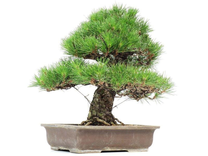 Pinus thunbergii, 45 cm, ± 35 years old