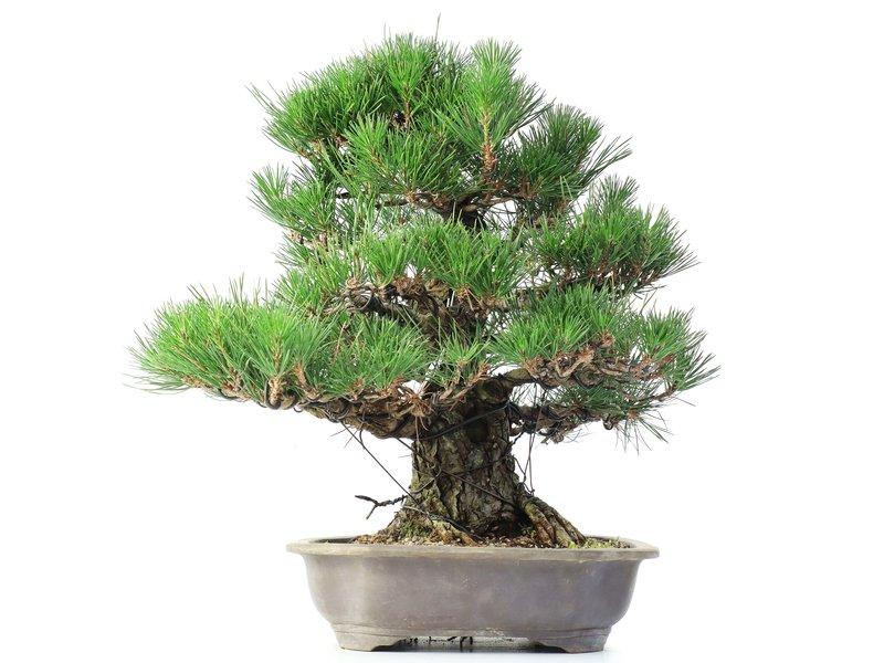 Pinus thunbergii, 47 cm, ± 35 years old