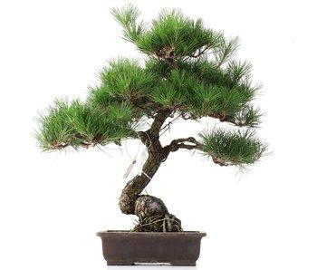 Pinus thunbergii, 49 cm, ± 35 anni
