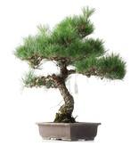 Pinus thunbergii, 49 cm, ± 35 years old