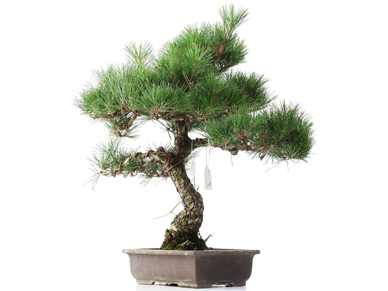Pinus thunbergii, 49 cm, ± 35 jaar oud
