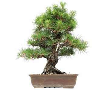 Pinus thunbergii, 46 cm, ± 35 jaar oud