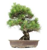Pinus thunbergii, 46 cm, ± 35 years old