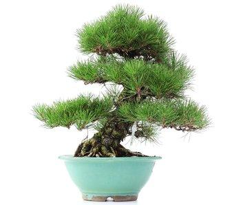 Pinus thunbergii, 45 cm, ± 35 jaar oud