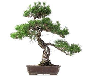 Pinus thunbergii, 63 cm, ± 35 anni