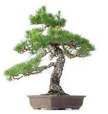 Pinus thunbergii, 63 cm, ± 35 jaar oud