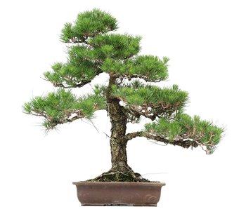 Pinus thunbergii, 66 cm, ± 35 jaar oud