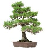 Pinus thunbergii, 66 cm, ± 35 years old