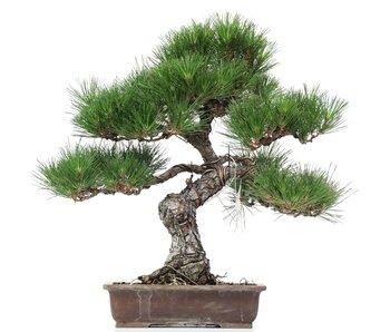 Pinus thunbergii, 50 cm, ± 35 jaar oud