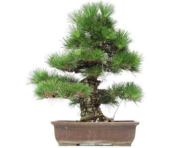 Pinus thunbergii, 54 cm, ± 35 jaar oud