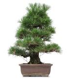 Pinus thunbergii, 54 cm, ± 35 years old