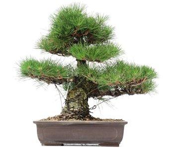 Pinus thunbergii, 47 cm, ± 35 jaar oud