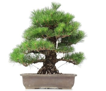 Pinus thunbergii, 48 cm, ± 35 jaar oud