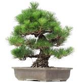 Pinus thunbergii, 48 cm, ± 35 years old