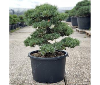 Pinus parviflora, 58 cm, ± 35 jaar oud