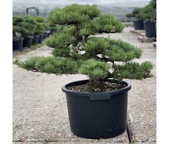 Pinus parviflora, 54 cm, ± 35 jaar oud
