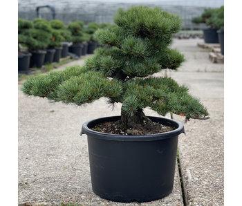 Pinus parviflora, 56 cm, ± 35 jaar oud