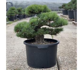 Pinus parviflora, 49 cm, ± 35 jaar oud