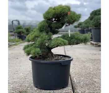 Pinus parviflora, 55 cm, ± 35 years old