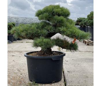 Pinus parviflora, 57 cm, ± 35 jaar oud