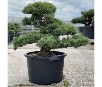Pinus parviflora, 55 cm, ± 35 jaar oud