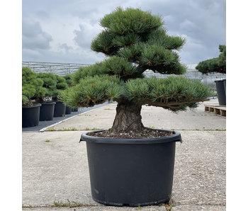 Pinus parviflora, 57 cm, ± 35 years old