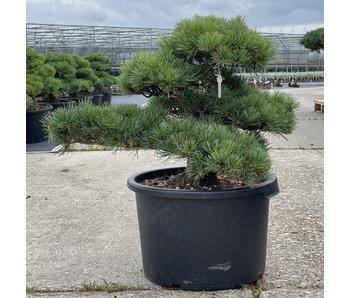 Pinus parviflora, 48 cm, ± 35 jaar oud