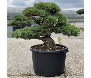 Pinus parviflora, 52 cm, ± 35 jaar oud