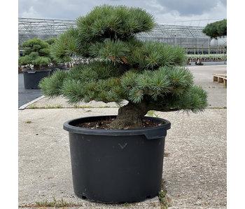 Pinus parviflora, 49 cm, ± 35 years old