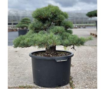 Pinus parviflora, 50 cm, ± 35 jaar oud