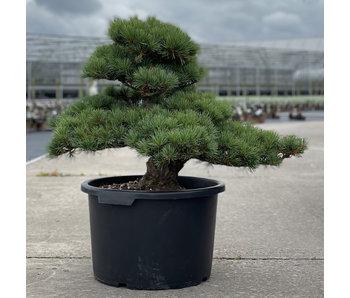 Pinus parviflora, 51 cm, ± 35 jaar oud