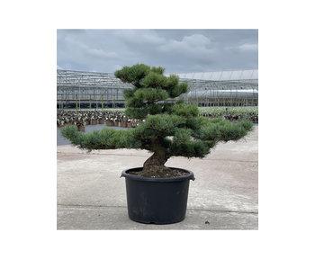 Pinus parviflora, 68 cm, ± 35 jaar oud