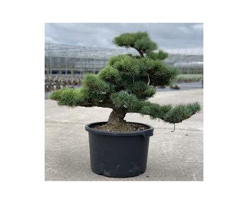 Pinus parviflora, 63 cm, ± 35 jaar oud