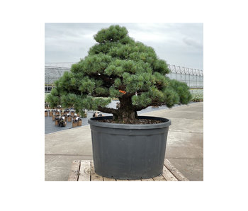 Pinus parviflora, 102 cm, ± 35 jaar oud