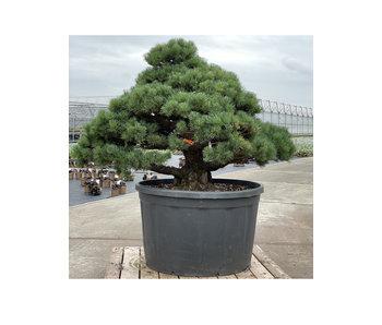 Pinus parviflora, 102 cm, ± 35 years old