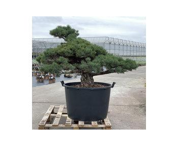 Pinus parviflora, 96 cm, ± 35 years old