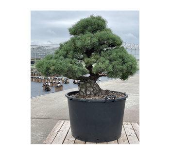 Pinus parviflora, 101 cm, ± 35 jaar oud