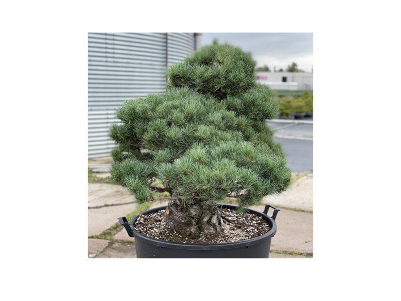 Pinus parviflora, 101 cm, ± 35 years old