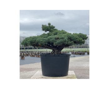 Pinus parviflora, 84 cm, ± 35 jaar oud