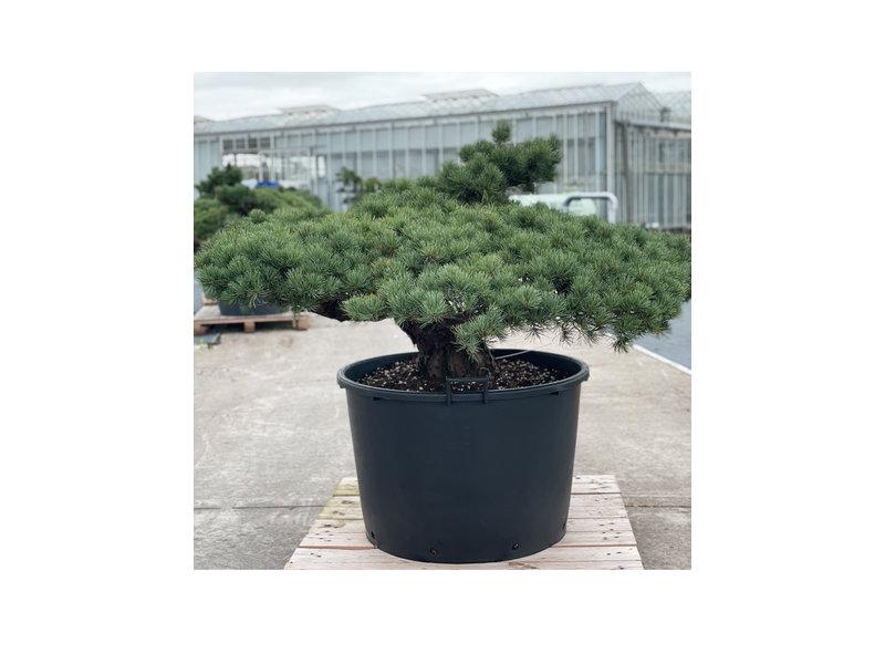 Pinus parviflora, 84 cm, ± 35 years old