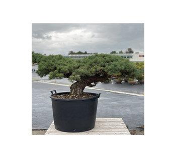 Pinus parviflora, 70 cm, ± 35 jaar oud