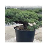 Pinus parviflora, 70 cm, ± 35 years old