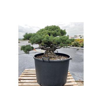 Pinus parviflora, 76 cm, ± 35 jaar oud