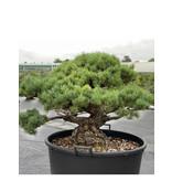 Pinus parviflora, 76 cm, ± 35 years old