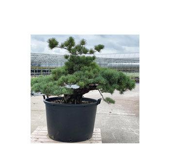 Pinus parviflora, 87 cm, ± 35 jaar oud