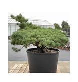 Pinus parviflora, 87 cm, ± 35 years old