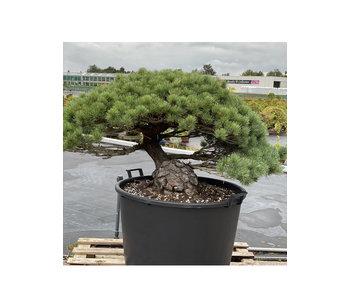 Pinus parviflora, 73 cm, ± 35 jaar oud